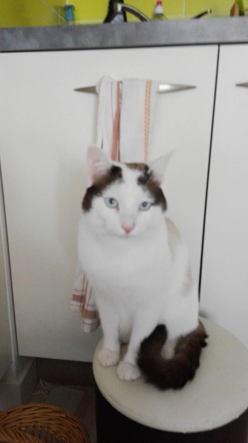 INVICTUS, chat européen marron&blanc, né en 2013, en FA longue durée Img_2010