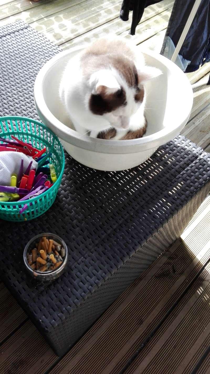 INVICTUS, chat européen marron&blanc, né en 2013, en FA longue durée Img_2012