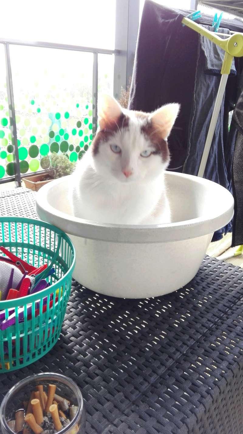 INVICTUS, chat européen marron&blanc, né en 2013, en FA longue durée Img_2013