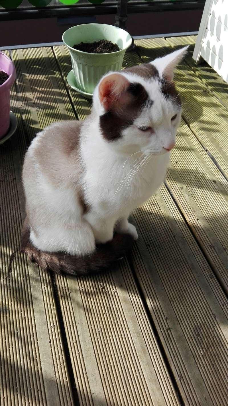 INVICTUS, chat européen marron&blanc, né en 2013, en FA longue durée Img_2014