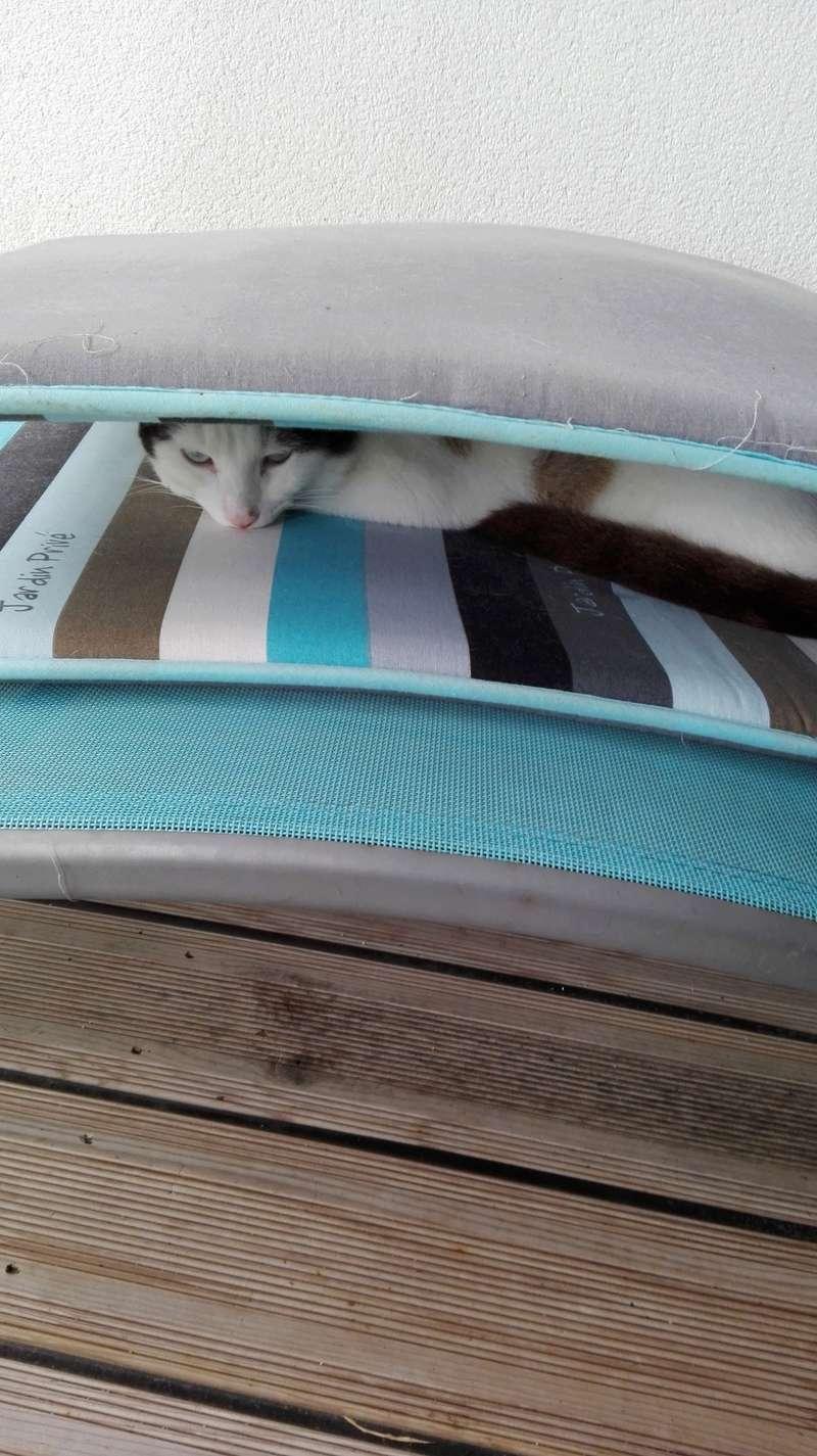 INVICTUS, chat européen marron&blanc, né en 2013, en FA longue durée Img_2025
