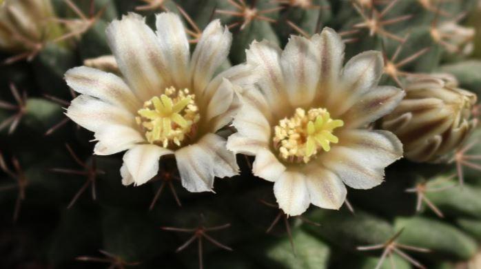 Mammillaria heyderi Heyder10