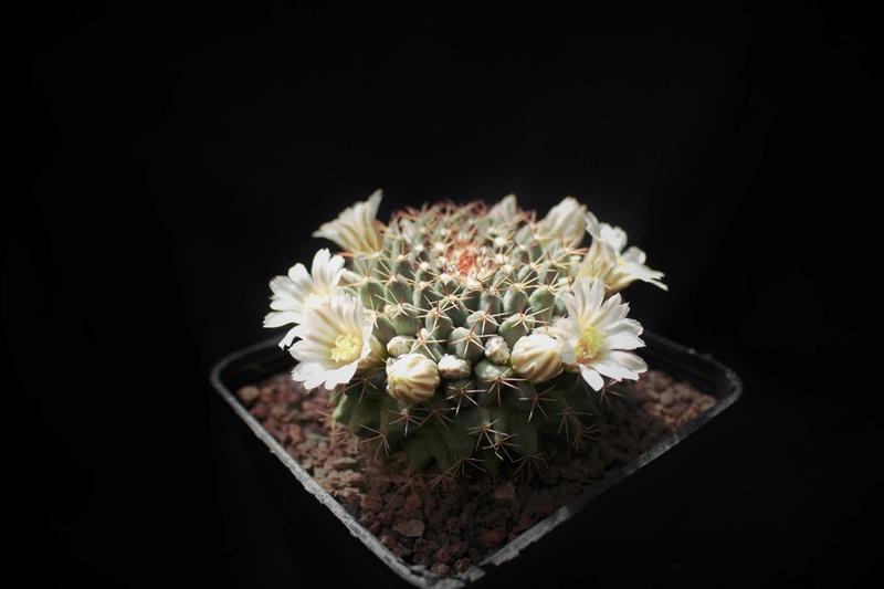 Mammillaria heyderi Heyder11