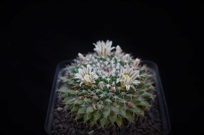 Mammillaria heyderi M_heyd10