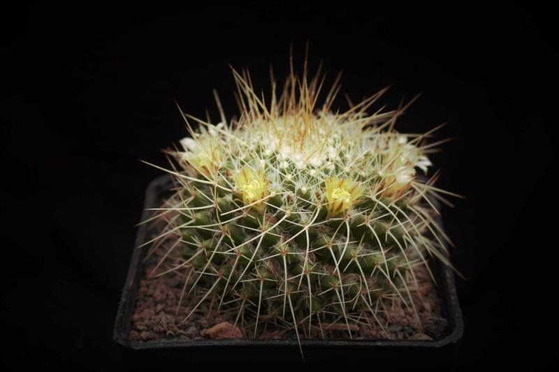 Mammillaria nagliana Naglia10