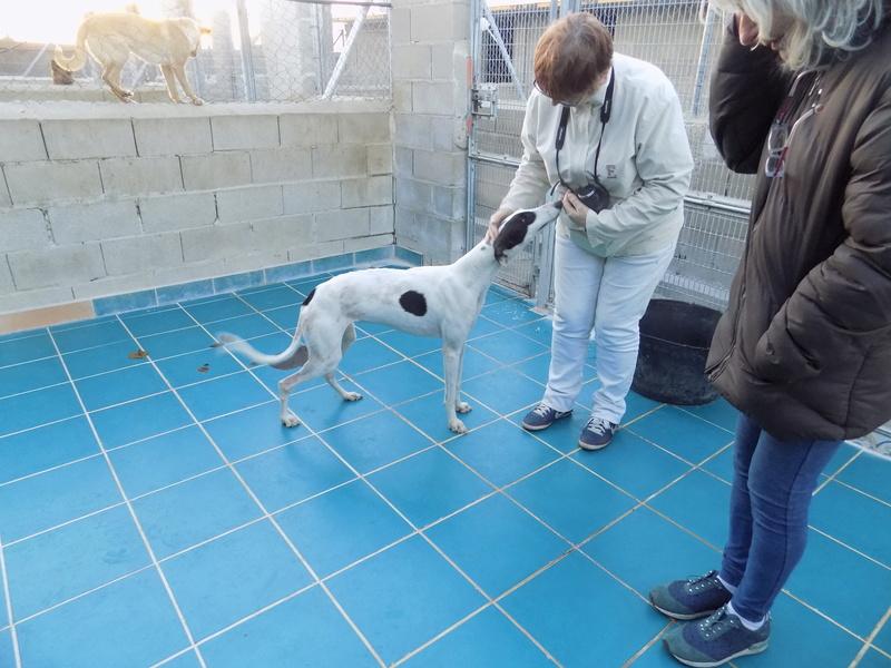 PRIMAVERA  jeune galga blanche tache noire , a la patte cassée Adoptée  13210