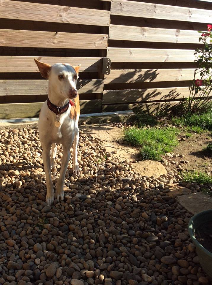 Morgane, podenca , 3 ans scooby france Adoptée  - Page 2 1410