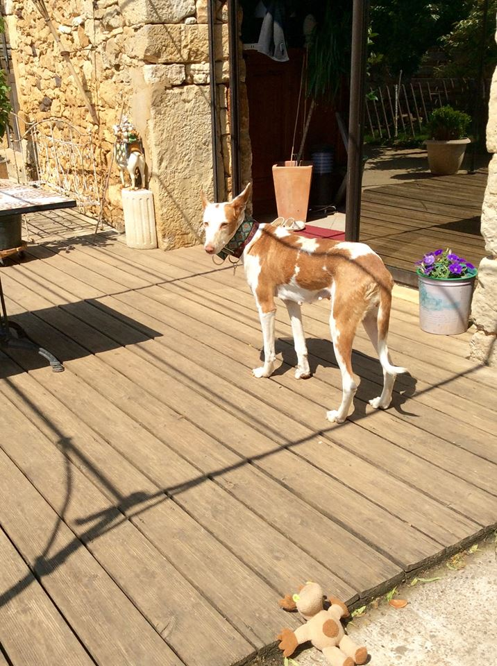 Morgane, podenca , 3 ans scooby france Adoptée  - Page 2 1710