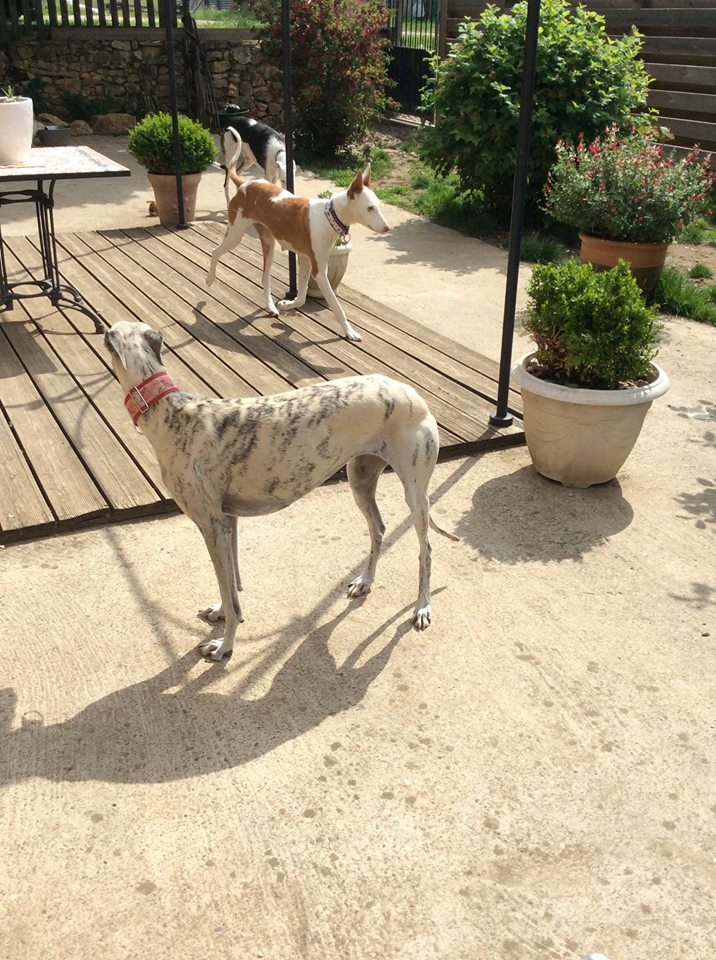 Morgane, podenca , 3 ans scooby france Adoptée  - Page 3 18402610
