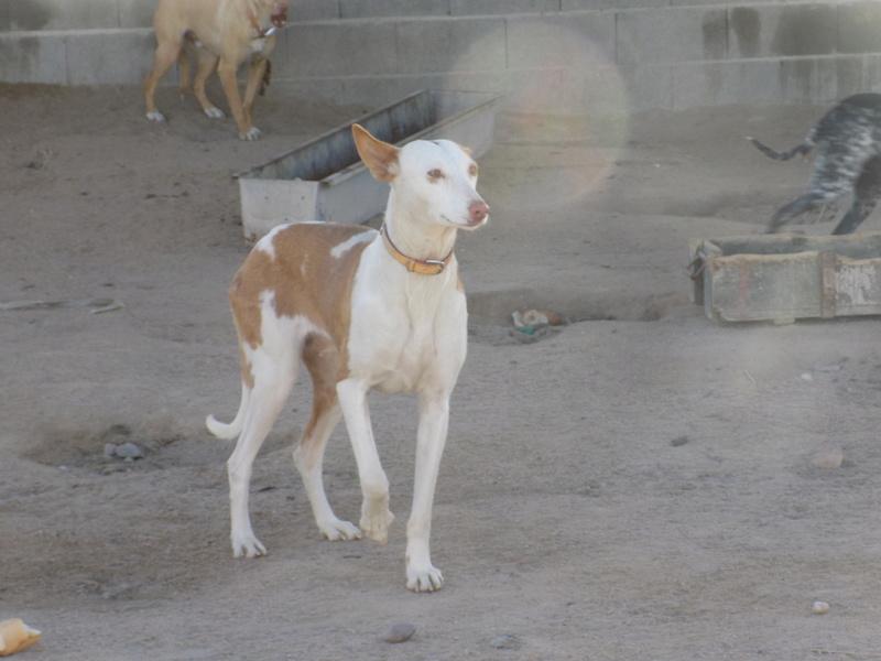 Morgane, podenca , 3 ans scooby france Adoptée  22010