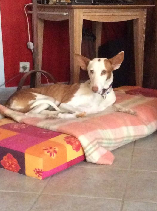 Morgane, podenca , 3 ans scooby france Adoptée  - Page 2 2610