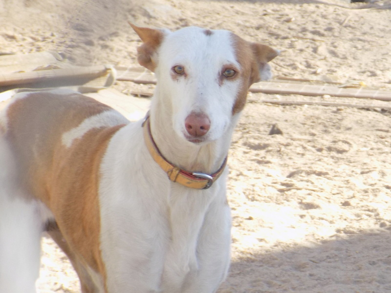 Morgane, podenca , 3 ans scooby france Adoptée  - Page 2 57010