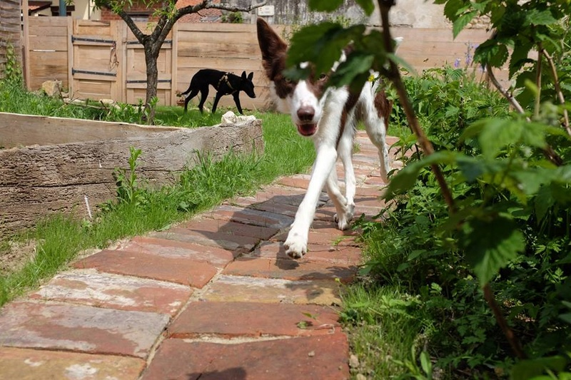 CLEO podenca noire adoptée  Cleo10