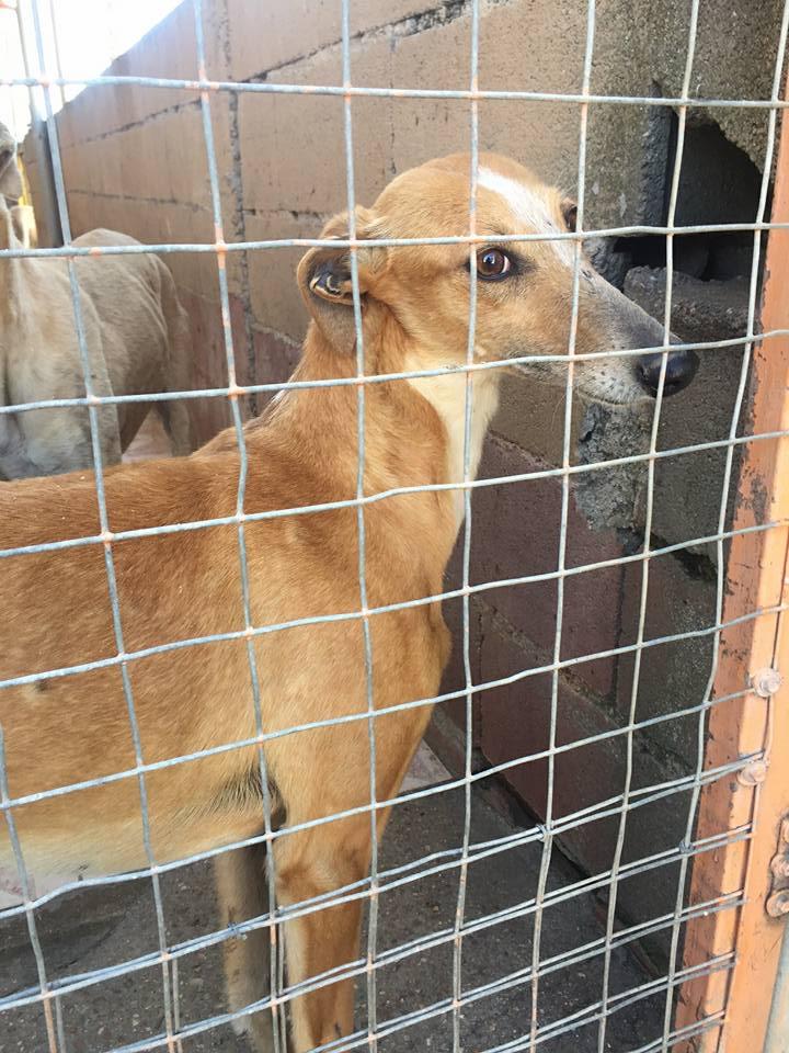 MELLINA petite crevette rousse Scooby France  Adoptée  Mellin16