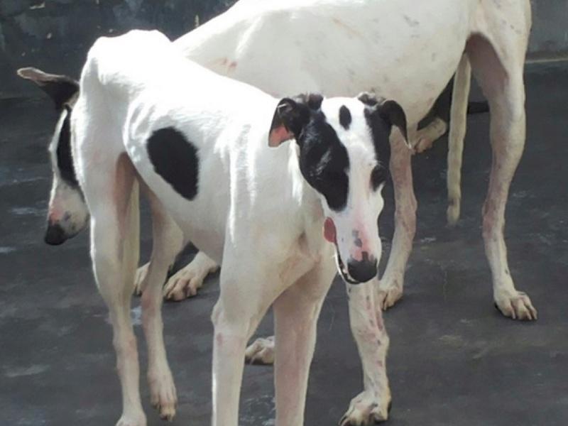 PRIMAVERA  jeune galga blanche tache noire , a la patte cassée Adoptée  Primav16