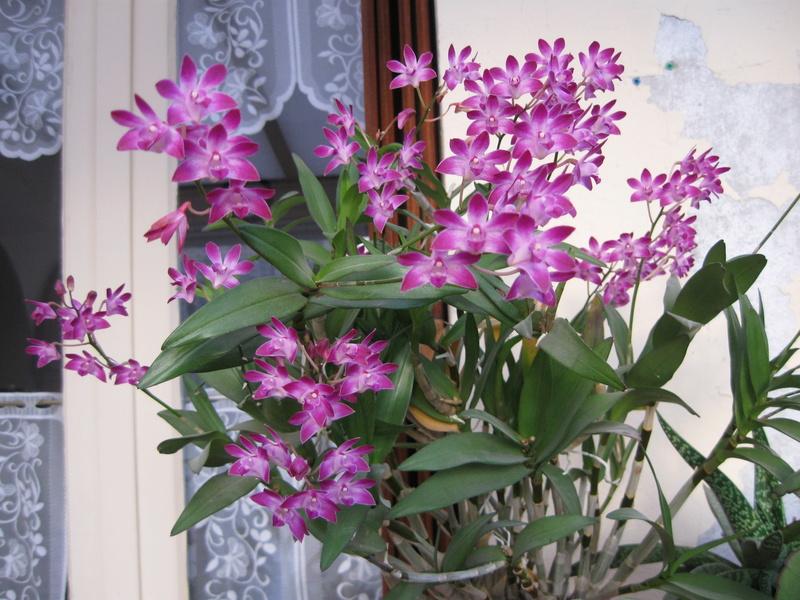 Mes orchidées en fleurs Dendro10
