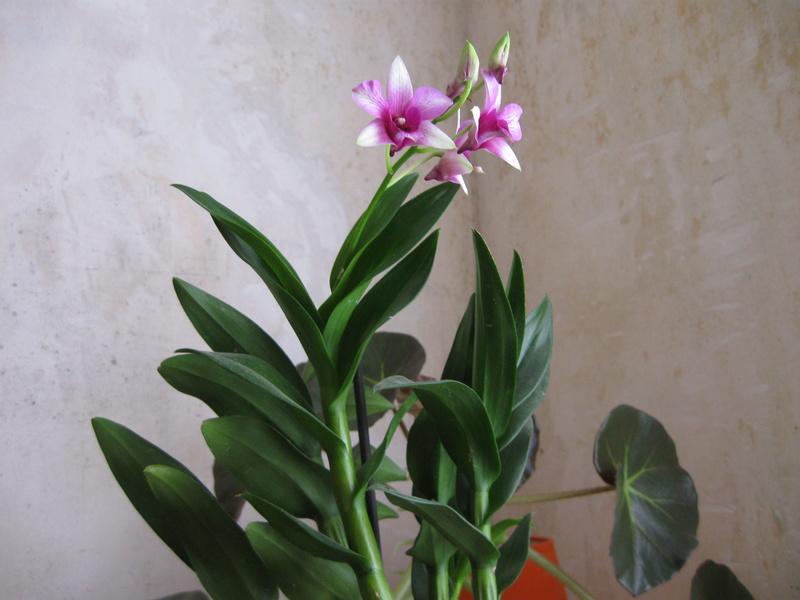 Mes orchidées en fleurs Dendro11