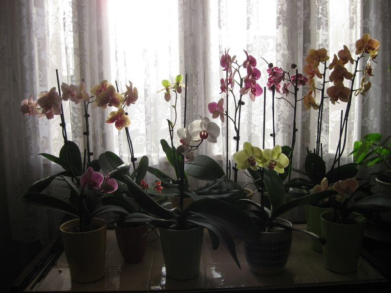 Mes orchidées en fleurs Phalen10