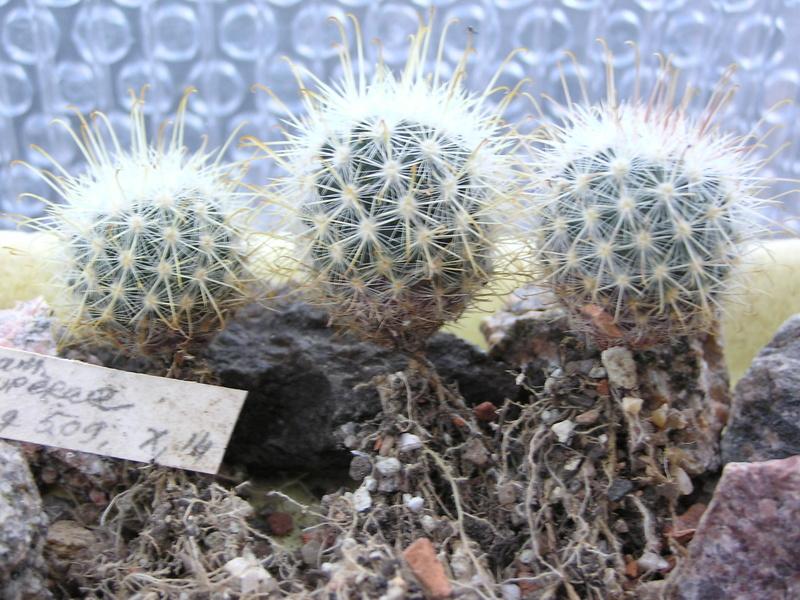 Cactus under carbonate 14 Fm_cow10