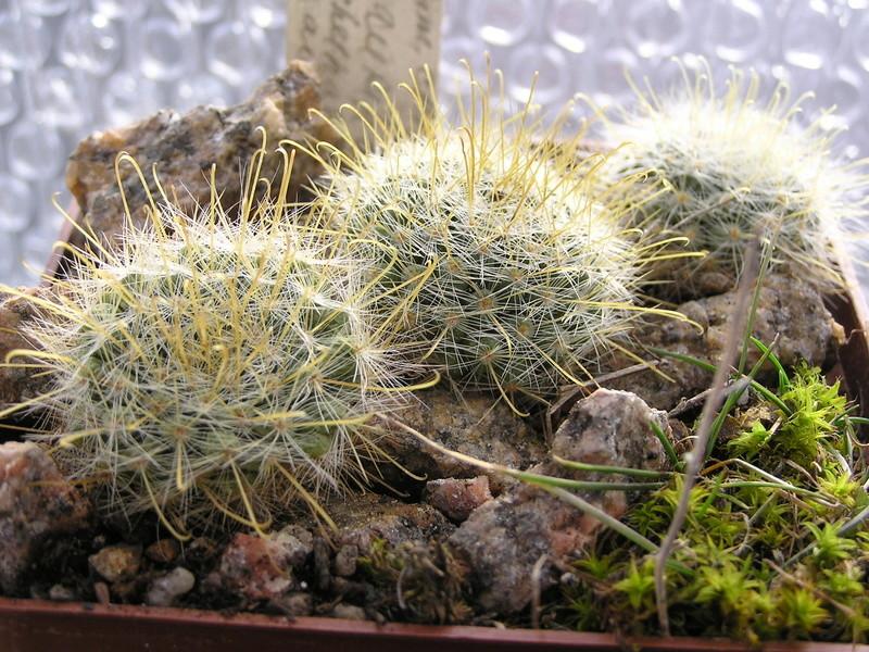 Cactus under carbonate 14 M_auri11
