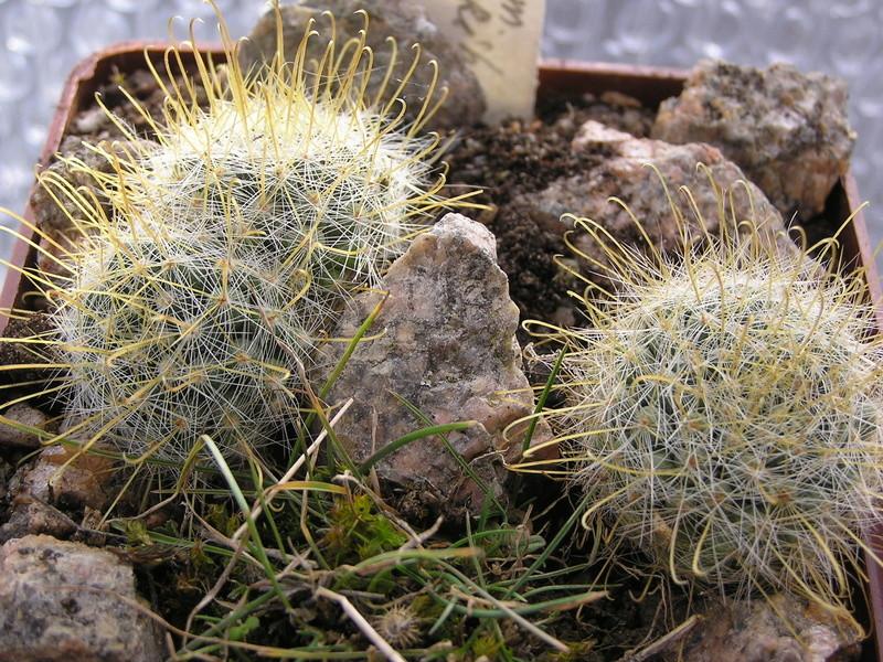 Cactus under carbonate 14 M_auri13