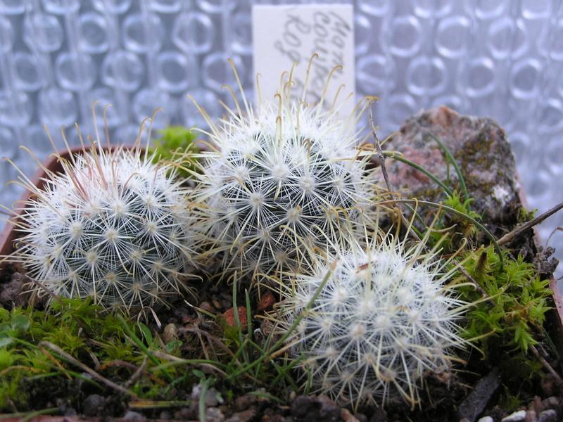 Cactus under carbonate 14 M_cowp10