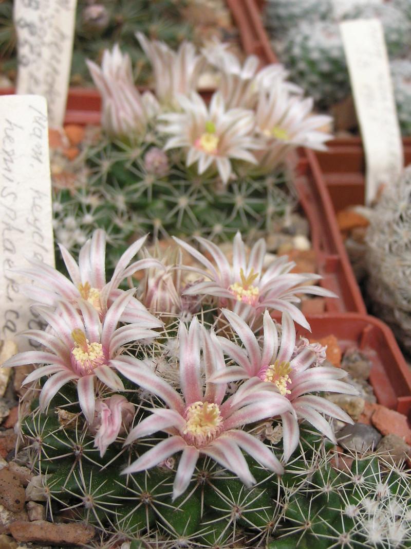 Mammillaria heyderi M_heyd11