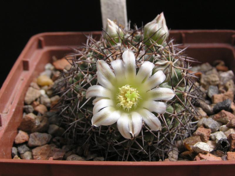 Mammillaria heyderi M_meia10