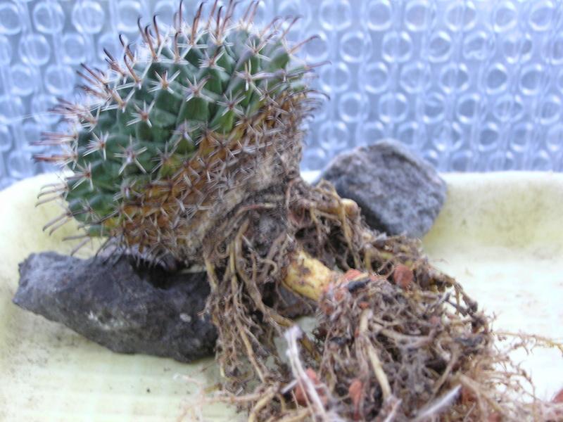 Cactus under carbonate 14 M_unci11