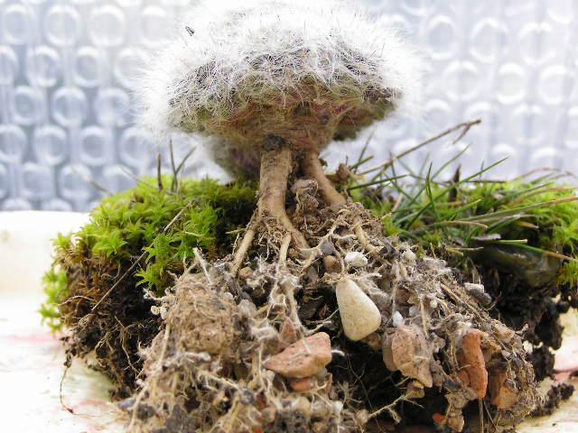 Cactus under carbonate 14 P1010010
