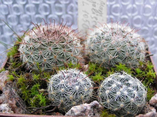 Cactus under carbonate 14 P1010011