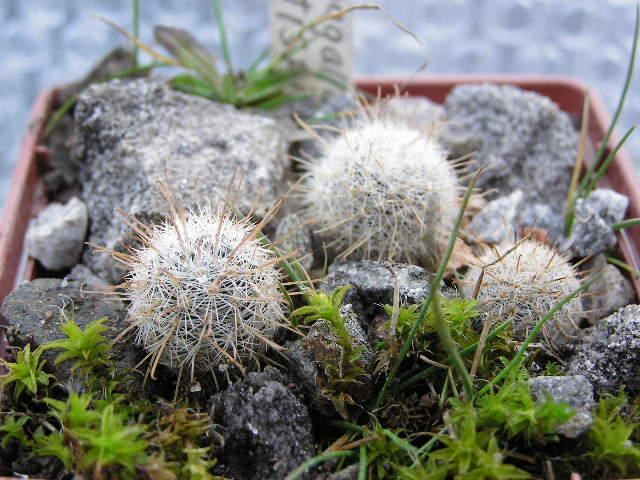 Cactus under carbonate 14 P1010013