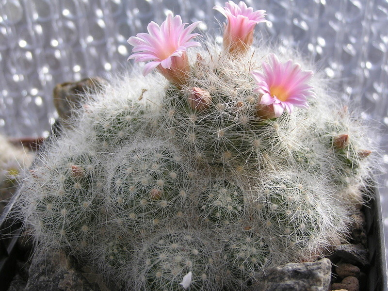 Mamm. glassii flower P1010016