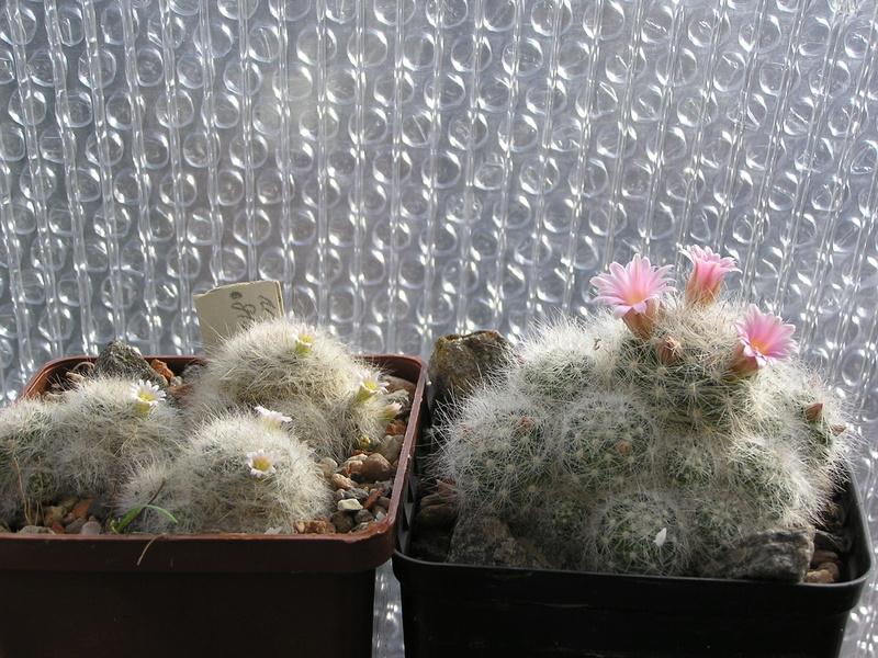 Mamm. glassii flower P1010017