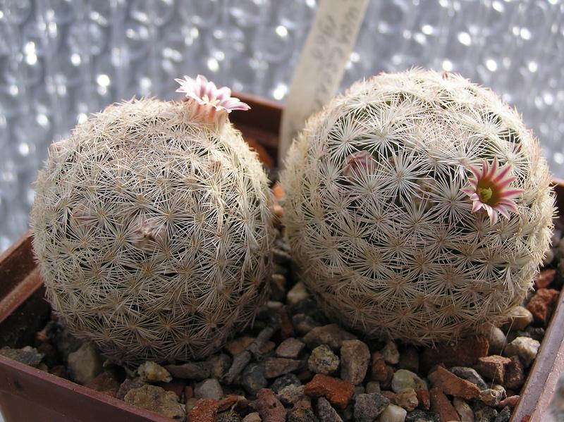Cactus under carbonate 14 P1010110