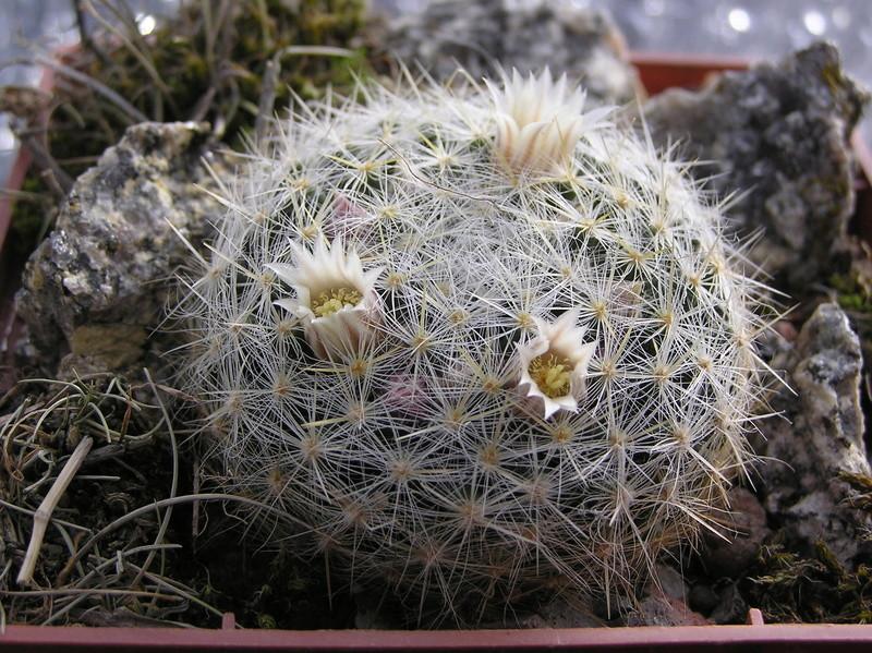 Cactus under carbonate 14 P1010111