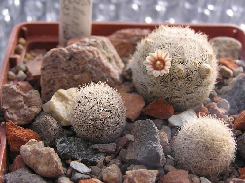 Cactus under carbonate 14 P1010113