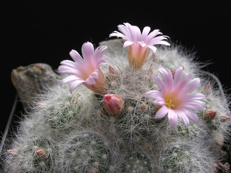 Cactus under carbonate 14 P1010114