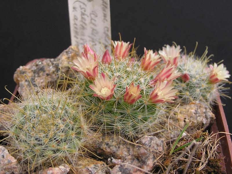 Cactus under carbonate 14 P1010116