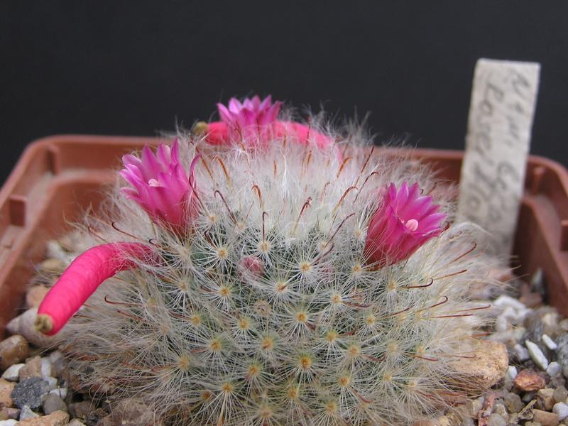 Cactus under carbonate 14 P1010118