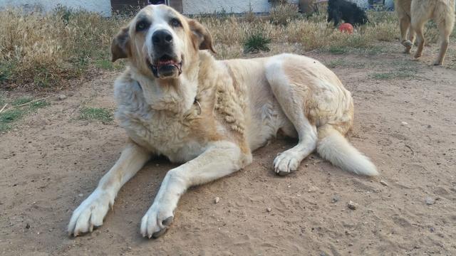 Canis Thor(Gedeeltelijke adoptie) 513