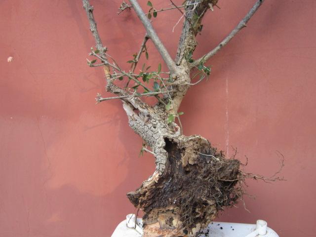 ultima giornata di raccolta olivastri Img_4013