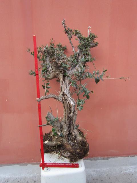 ultima giornata di raccolta olivastri Img_4111