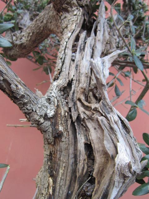 ultima giornata di raccolta olivastri Img_4112
