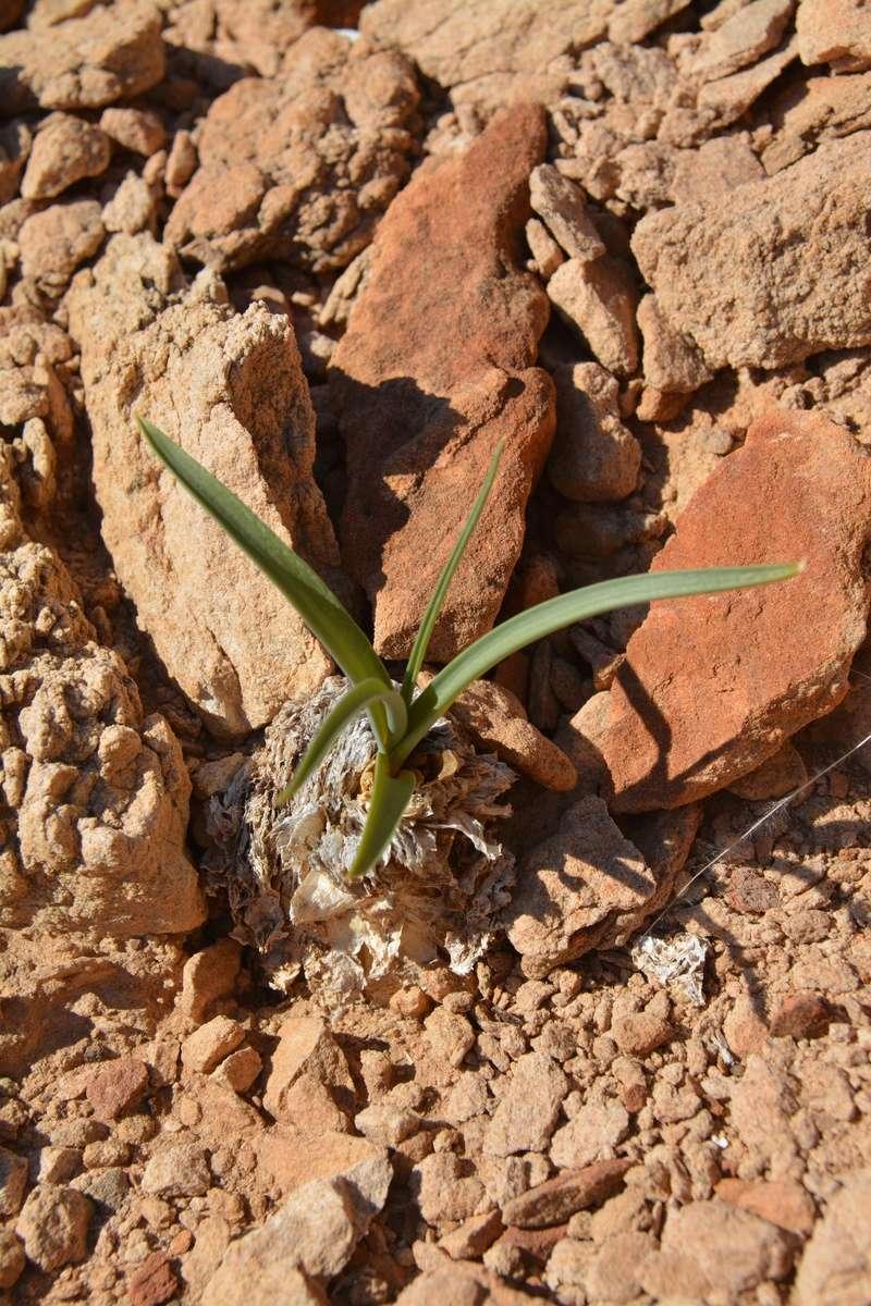 Iris Ethiopie 310
