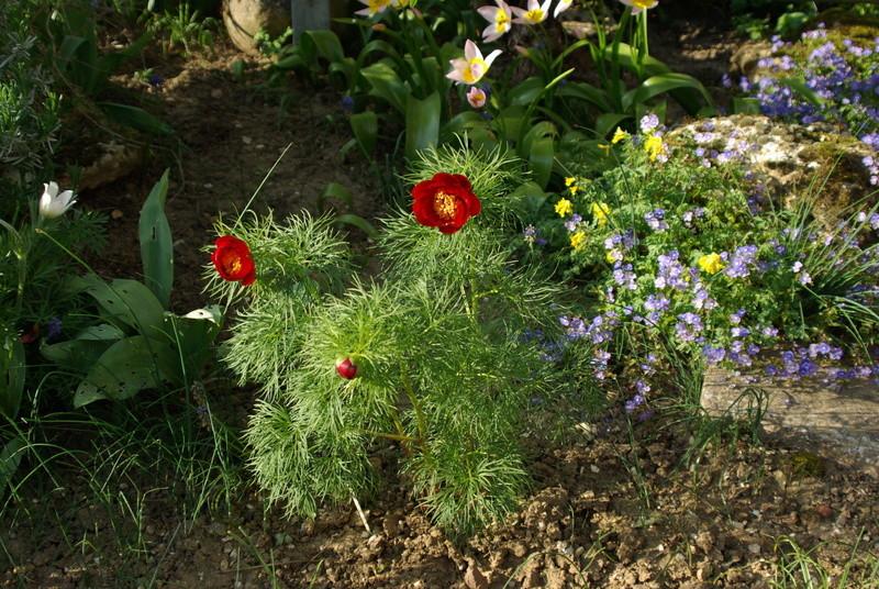 Paeonia tenuifolia Paeoni10