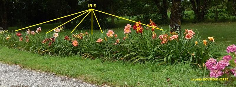 Hémérocalles cache-misère des iris Bande_10