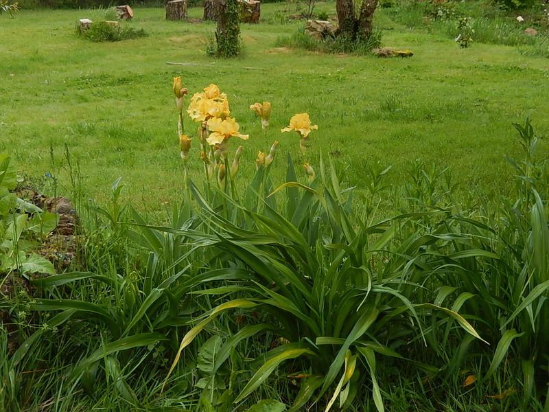 Hémérocalles cache-misère des iris Dscn2810