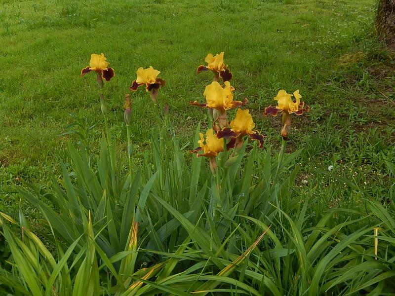 Hémérocalles cache-misère des iris Dscn2811