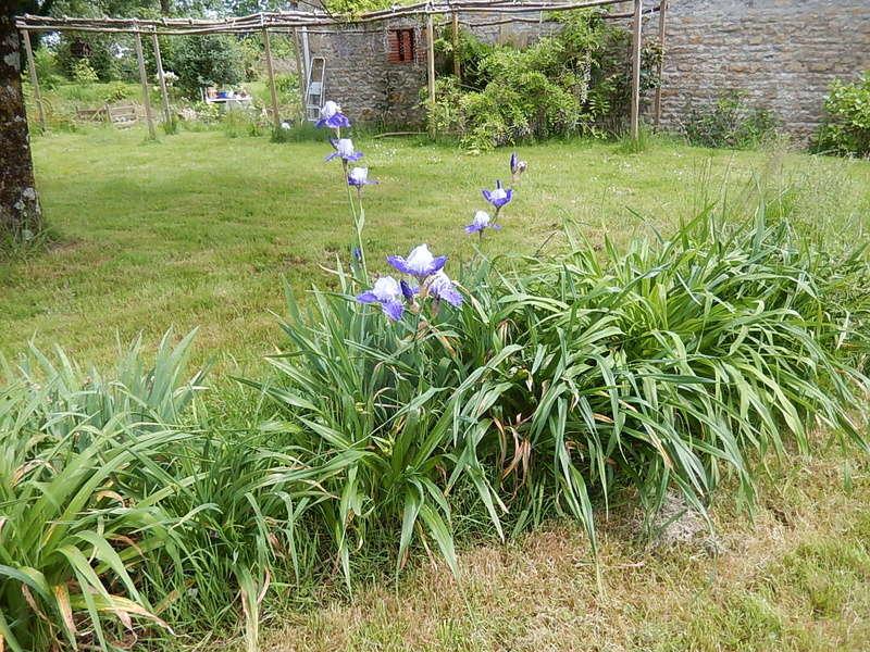 Hémérocalles cache-misère des iris Miss_i10